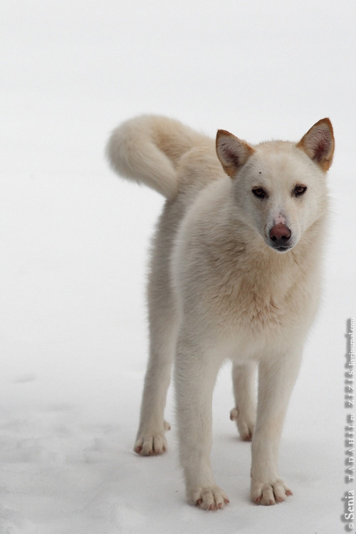 И сами собаки тут очень красивые. Любой масти, есть даже рыжие, как лисы.