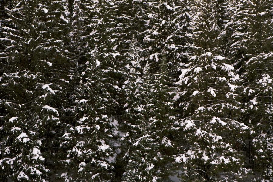 А вокруг елки и елки, а еще растут елочки и ели.