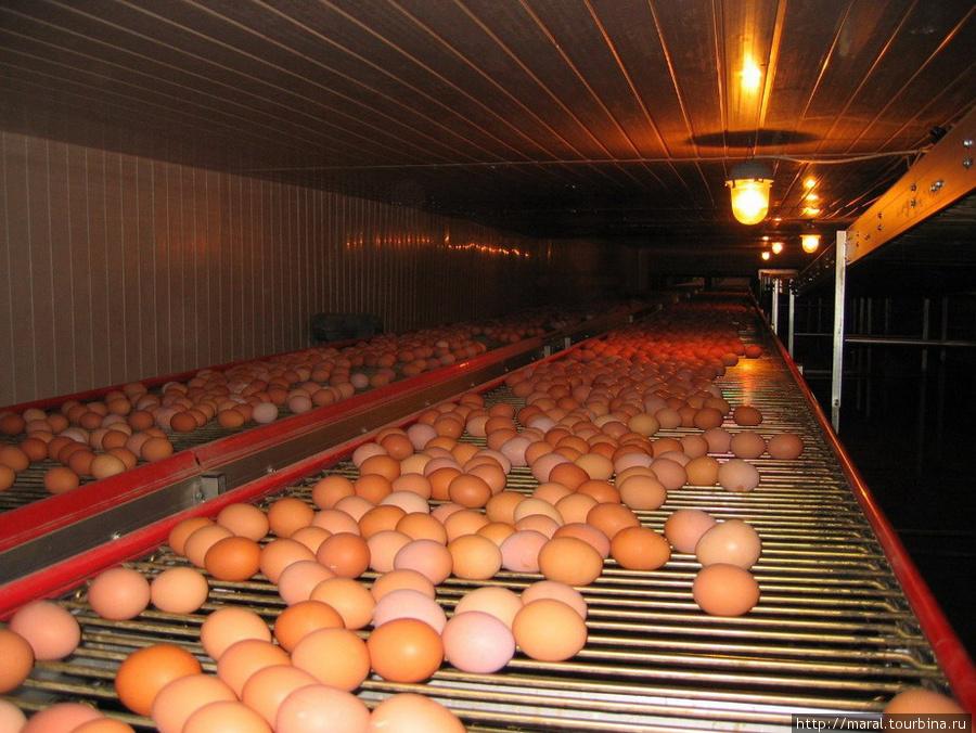 А вот золотые яйца, которые они несут