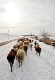 Зимой бараны раз в день самостоятельно ходят на речку на водопой. Их всегда сопровождает кто-нибудь из людей, но направлять их не нужно — они сами движутся организованно к речке и обратно домой.
