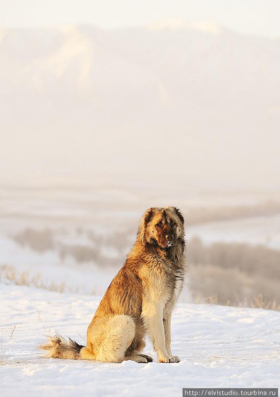 Одна из собак хозяйства апы — прекрасный Сертан.