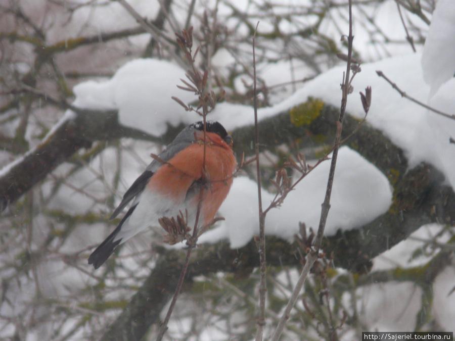 Таллиннский снегирь