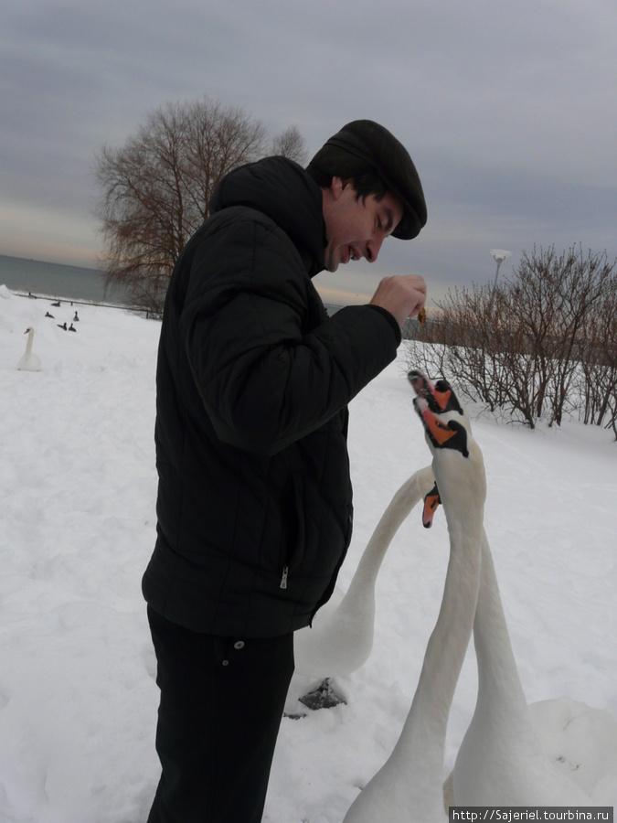 Приморские лебеди