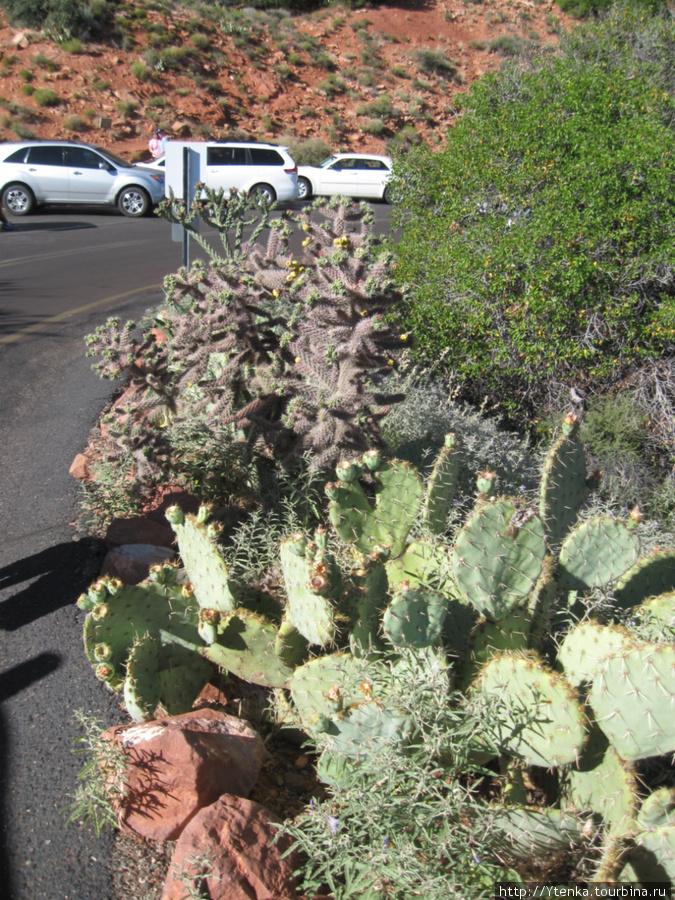 Первые кактусы, увиденные мною в Аризоне.