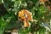 Насекомое, похожее по стилю полёта на калибри, собирает нектар в полёте!