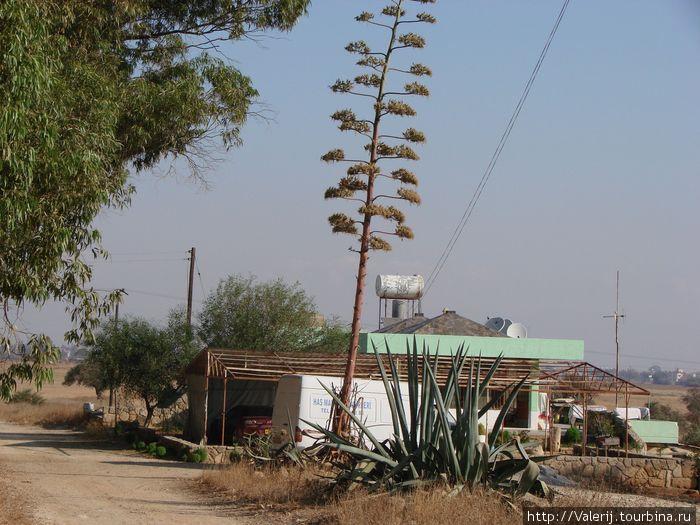 Так цветет агава. После цветения растение погибает, а от корней появляется множество отростков.