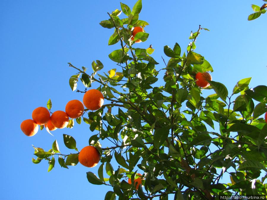 мандарины, апельсины и лимоны повсюду