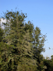 Деревья, которые сплошь облепляют карамароны, внизу белого цвета. Сами эти птицы проносятся над водой стайками, как группа маленьких стратегических бомбардировщиков, сбрасывая свои снаряды на что придется. Очень советую надеть капюшон, если вы хотите посмотреть на карамаронов.  А еще они все вместе очень смешно хрюкают.
