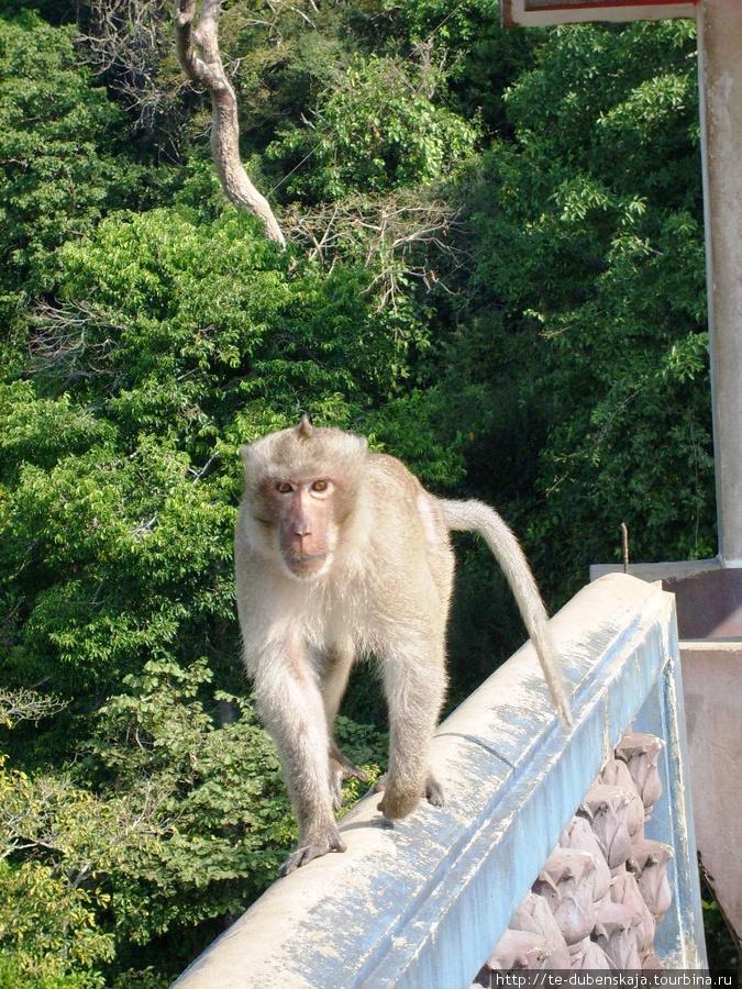 Страж храма диких обезьян.