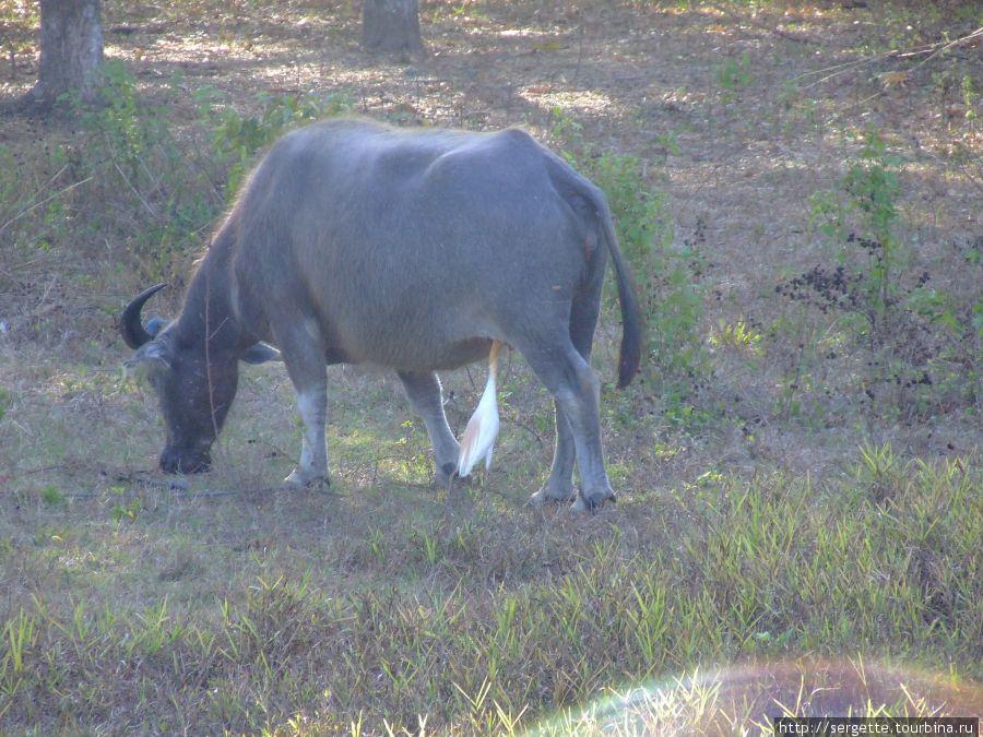 Марабу и ее корова МУ
