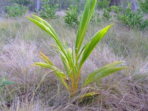 Новорожденная кокосовая пальмочка