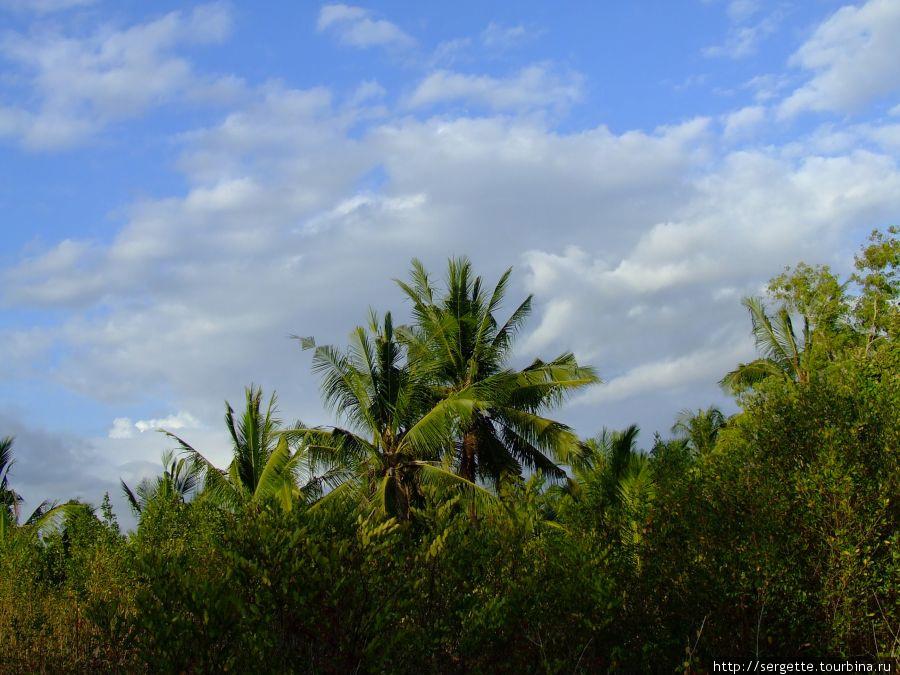 Плантация кокосов