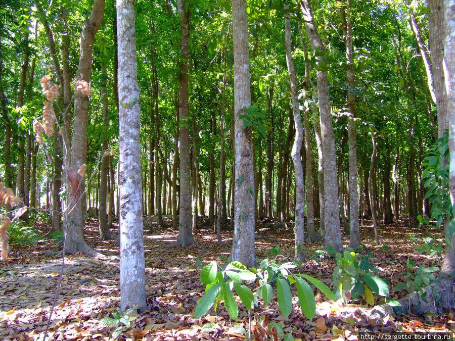 Какая то плантация. Деревья насажены рядами. Что за фрукт не знаю