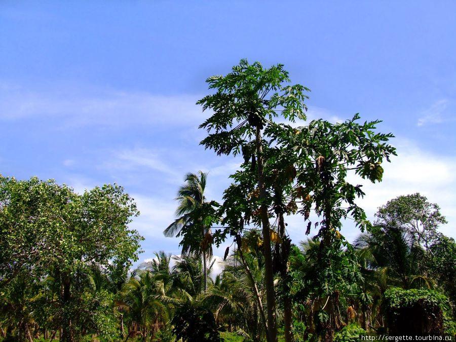 Это папайя дерево