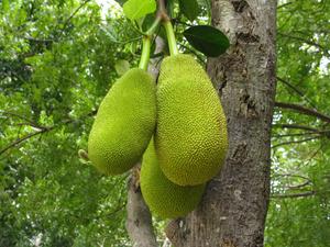 Джек-фруты — самые большие фрукты в мире