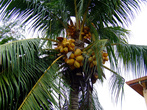 Поглядывать на верх надо, кокосы поспевают. Можно и баунти по голове получить