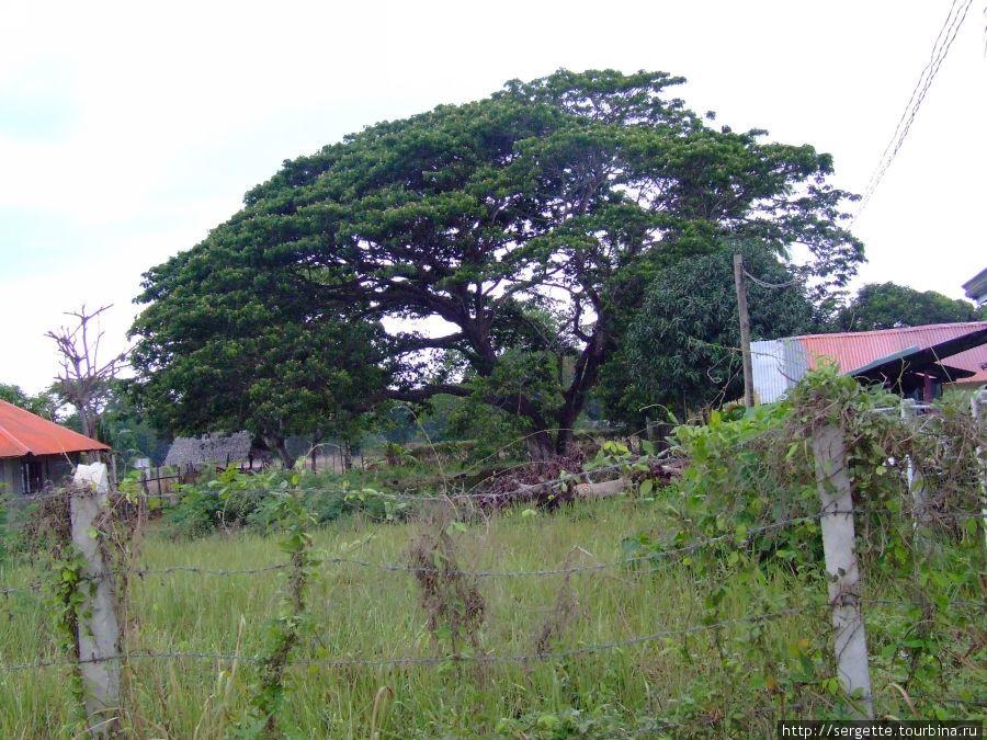 Манговое дерево. Они бывают огромными что в его тени может поместиться целая усадьба