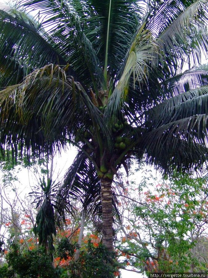 Кокосовые пальмы в городе  это нормально