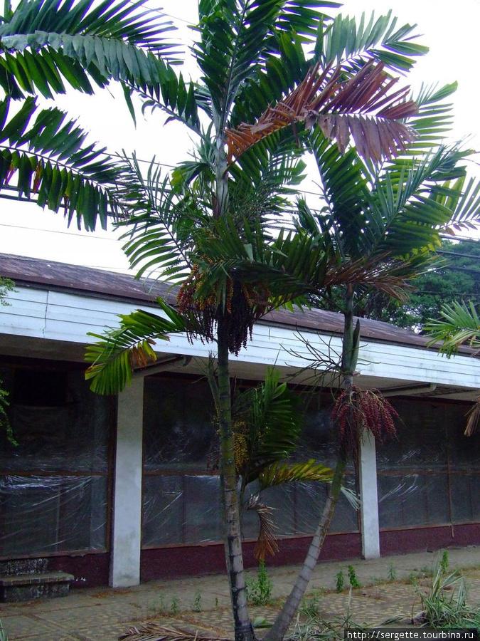 Масличная пальма, как мне кажется