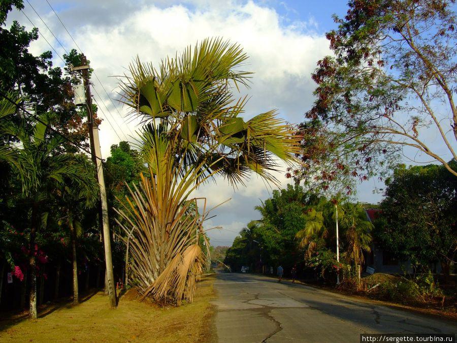 Веерная пальма, правда немного покоцаная