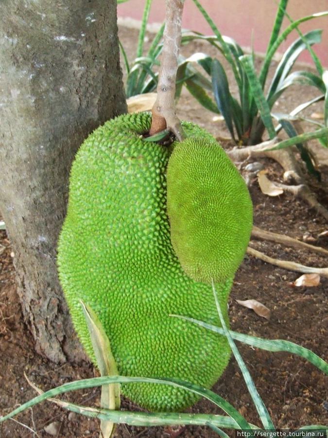 Джекфрут. Его плоды бывают огромными и растут всегда в нижней части дерева иногда опираясь на землю