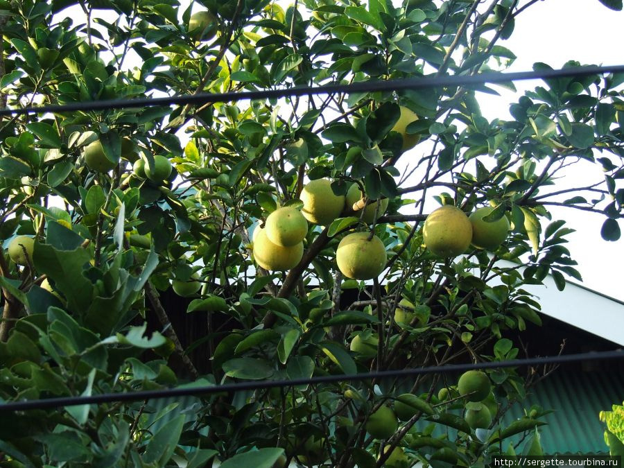 Может памело, может грейпфрут, а может еще чего.