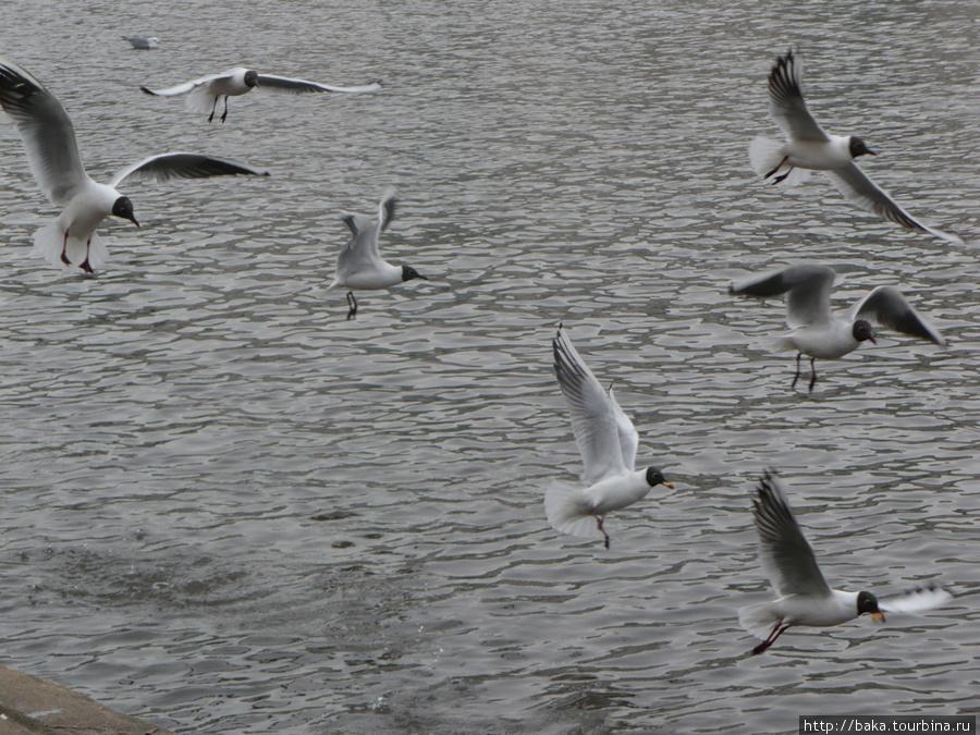 Очень опасные чайки — какают прямо на голову радиоактивным помётом!