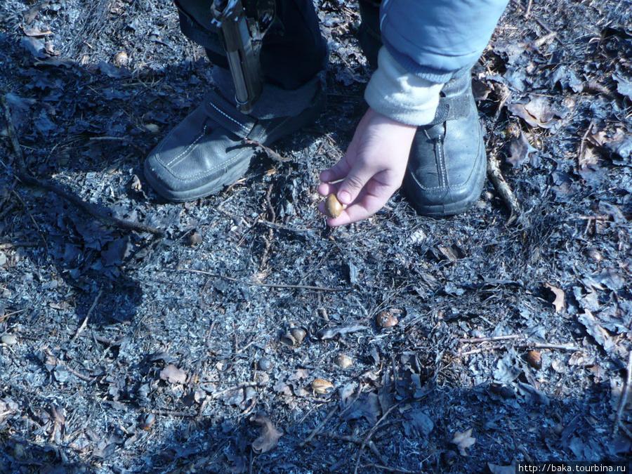 Кабан-огнемётчик подпалил листву и сбежал! А жёлуди остались! Они уже жареные! Можно жрать!
