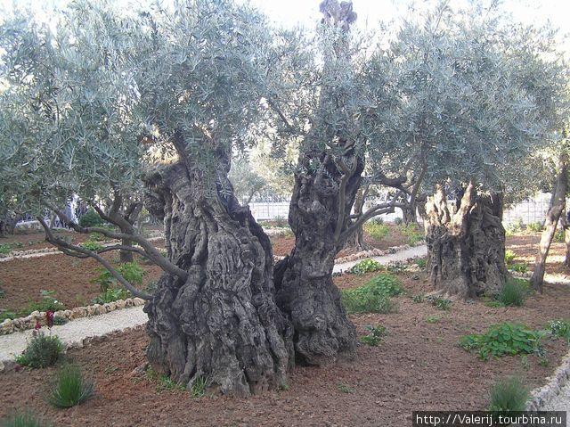 Похоже, что эти маслины