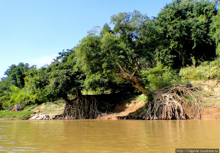 Река постепенно подмывает берега, обнажая корни деревьев