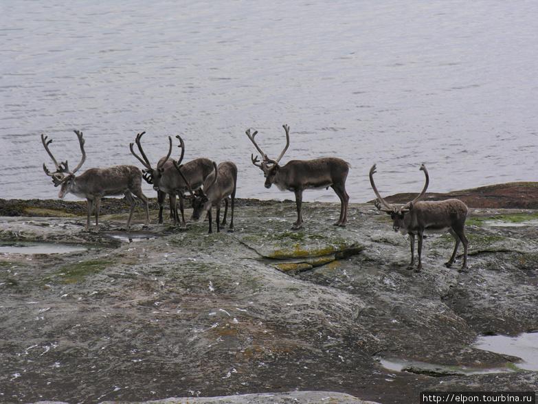 Олени на берегу Варангер-фьорда