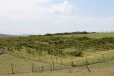 Виноградные поля