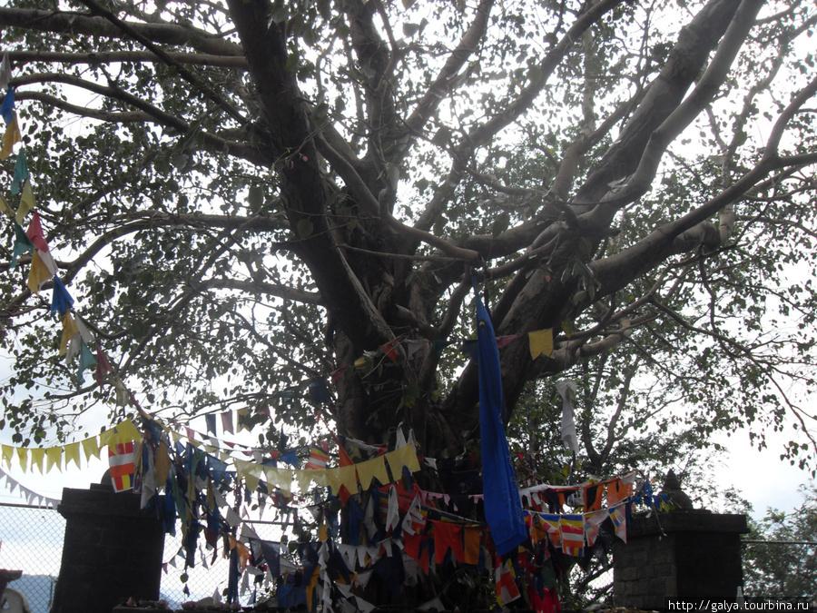 А это — священное дерево Бодхи. О нем тоже отдельно нужно