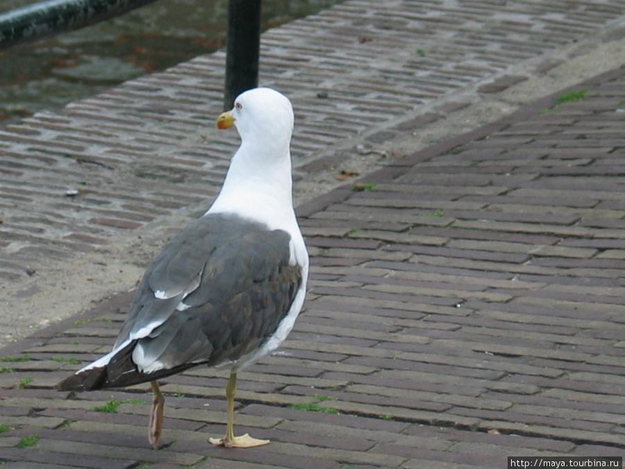 Чайки не спеша, прогуливаются по мощенной мостовой.