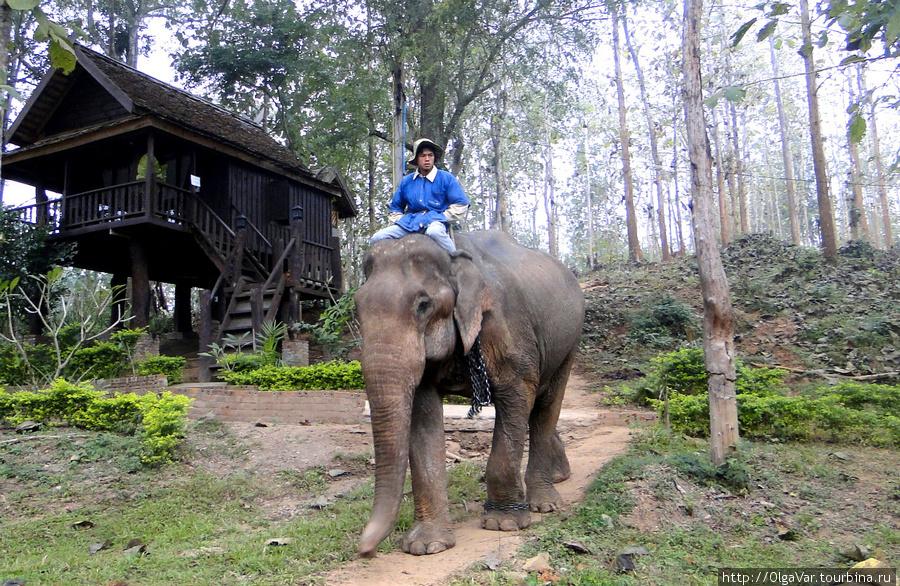 Такую картину можно наблюдать утром и вечером, когда слоны идут к реке