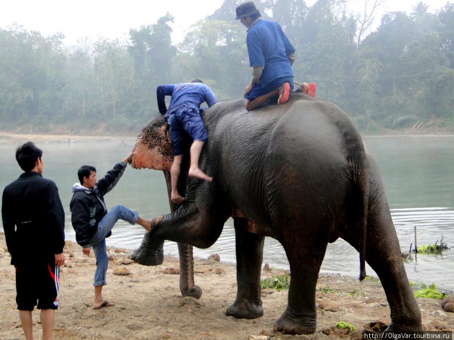 Спуск со слона требует определенной человеческой  ловкости. Слон, как может, помогает и себе и человеку, сделав упор на хобот