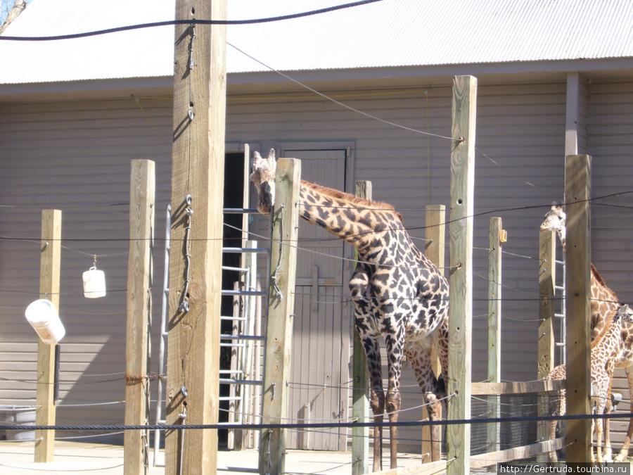 Жирафы, наверное им хочется в саванну!