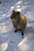 Квокка считается короткохвостым кенгуру.