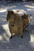 обственно, когда она начинает прыгать на задних лапах, то все сомнения в родственности с кенгуру отпадают.