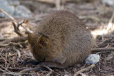 А это спящая Квокка (Quokka), самое известное сумчатое животное населяющее Rotto.