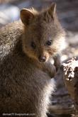 Квокка стала редкой на материке Австралии и остается еще многочисленной на Rottnest.