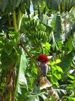 Банан в саду