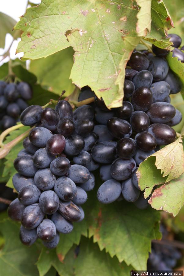 Виноград на окраине Тамани Тамань, Россия