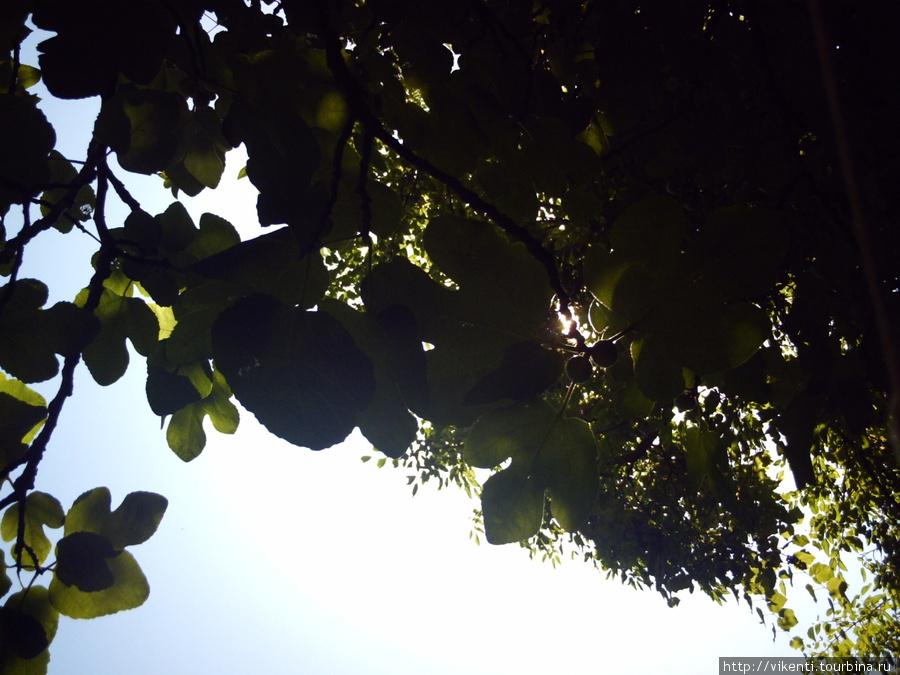 Инжировое дерево