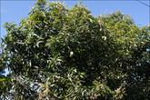 По дороге к трейлу много фруктовых деревьев, вот, например, манго.