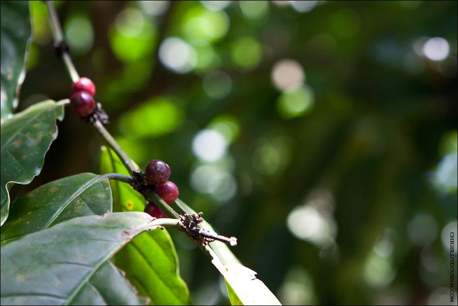 Копи Лювак — это одна из разновидностей кофе, которая знаменита тем, что делают кофе у буквальном смысле из дерьма маленького зверька из семейства виверовых — мусанга. В прошлые выходные мы поднимались на гору Сан Кристобаль, у подножия которой растет кофе. Именно тут и обитают эти самые зверьки. То, как растет кофе я видел первый раз.