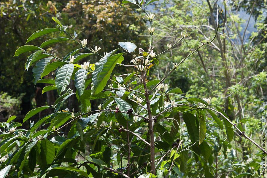 Копи Лювак получают так: мусанги носятся по лесу как ненормальные и едят плоды кофе, так называемые кофейные вишни, кстати, на самом деле вкусные. Кожицу и мякоть они переваривают, а вот само зерно — нет. Кофейное дерево