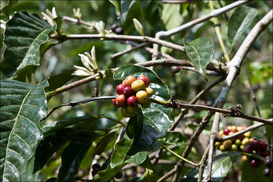 Неспелые плоды кофе