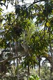 И прочих плодовых деревьев