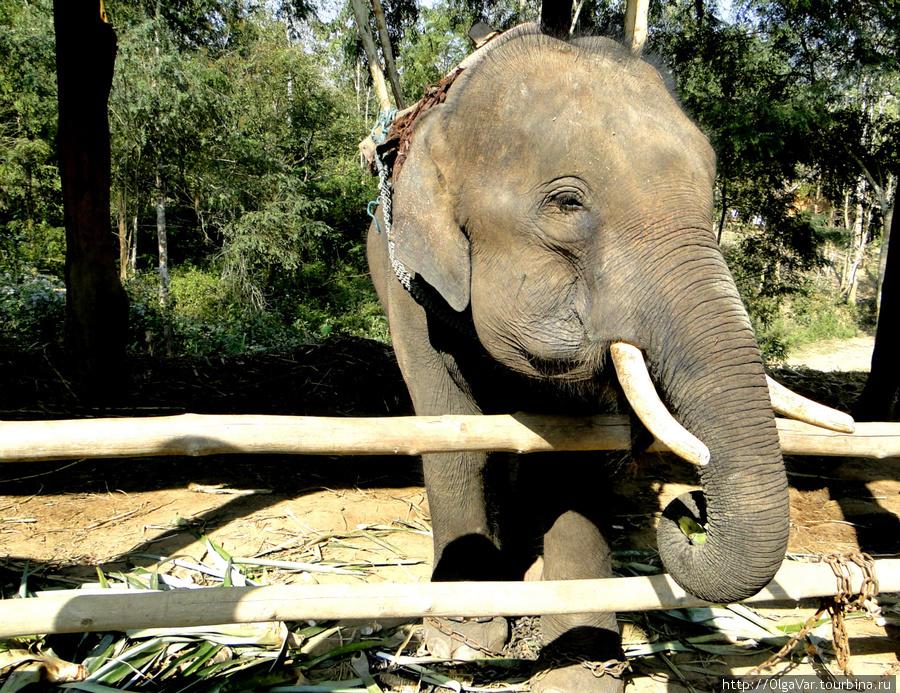 Маленький слоник. На нем не катаются. Он тоже работает — везет зеленые и вкусные стебли.